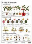 A virág és a termés + munkaoldal  fixi  tanulói munkalap