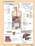 Az emésztőrendszer + Az emésztés DUO fixi tanulói munkalap